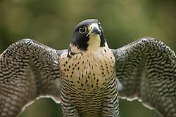 United States, Washington, Seattle, Woodland Park Zoo, Peregrine Falcon (Falco peregrinus)