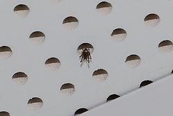 False widow spiders live in the ceiling tiles of Quayside House in Canning Town, East London. Canning Town, London, October 30 2018.