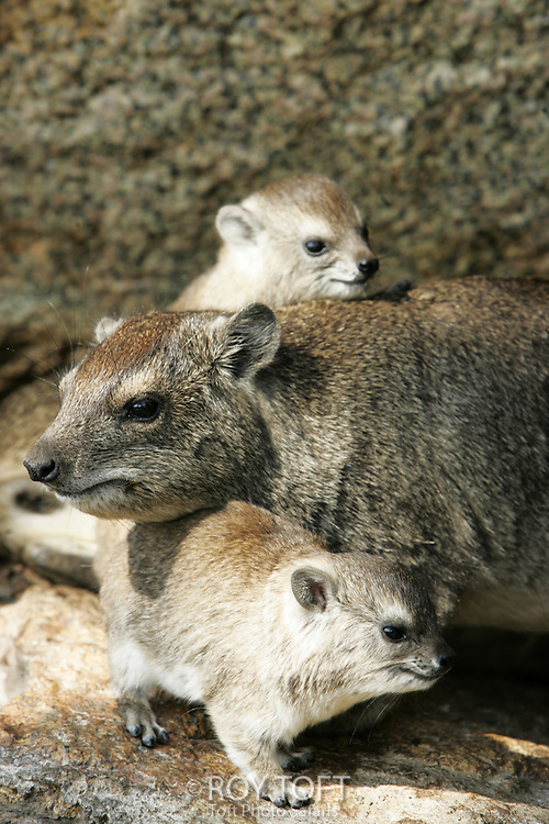 A small flock of Rock Hyrax (Procavia capensis) nestled in the rocks, Africa