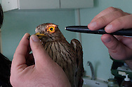 "Doctor Riccardo Ghelardi doing a check-up of an ""Occhione"" (Burhinus oedicnemus)"