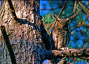 Great Horned Owl looking down from tree - Mississippi.
