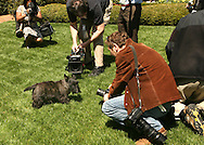Photographers surround Presidential puppy Miss Beazley in the Jacqueline Kennedy Garden  of the White House.  Miss Beazley wandering to a press tour of the South Lawn in advance of The White House Gardens and Grounds spring tours.  Photograph by Dennis Brack