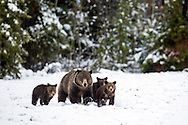 Blondy the Grizzly Bear and her three cubs during a spring snow.   Spring comes late and intermittently in the Rocky Mountains