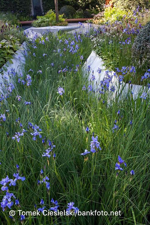 iris sibirica 'Gerald Darby'