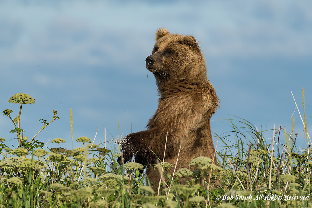 Brown bears at Silver Salmon Creek Lodge, Lake Clark National Park, Alaska,