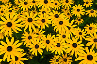 Black-eyed susans (wildflowers), Littleton, Colorado USA
