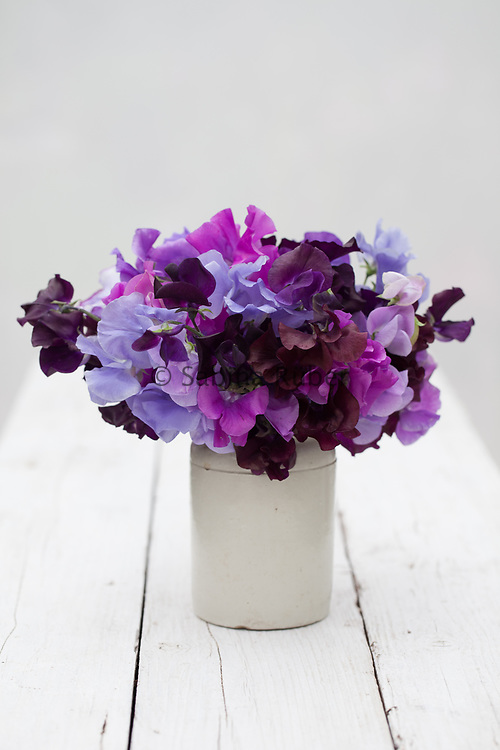 Lathyrus odoratus 'Blue Shades' mix - sweet pea