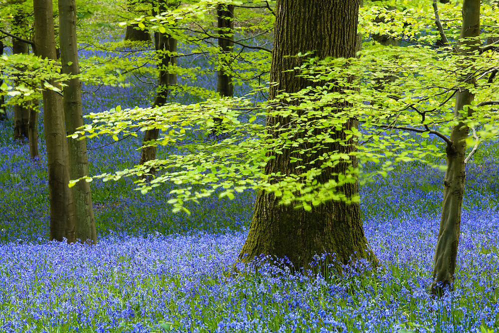 Bluebells in flower at Upper Soudley, Forest of Dean, Gloucestershire