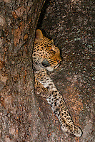 A leopard reveals itself through a tree limb, Linyanti Marshes, Botswana.