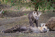 A restlest spotted hyena tries to rouse an older pup to play.