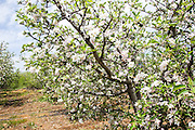 Apple Blossoms in a plantation. Photographed in Israel in April