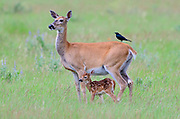 White-tailed deer doe and fawn (Odocoileus virginianus), North America