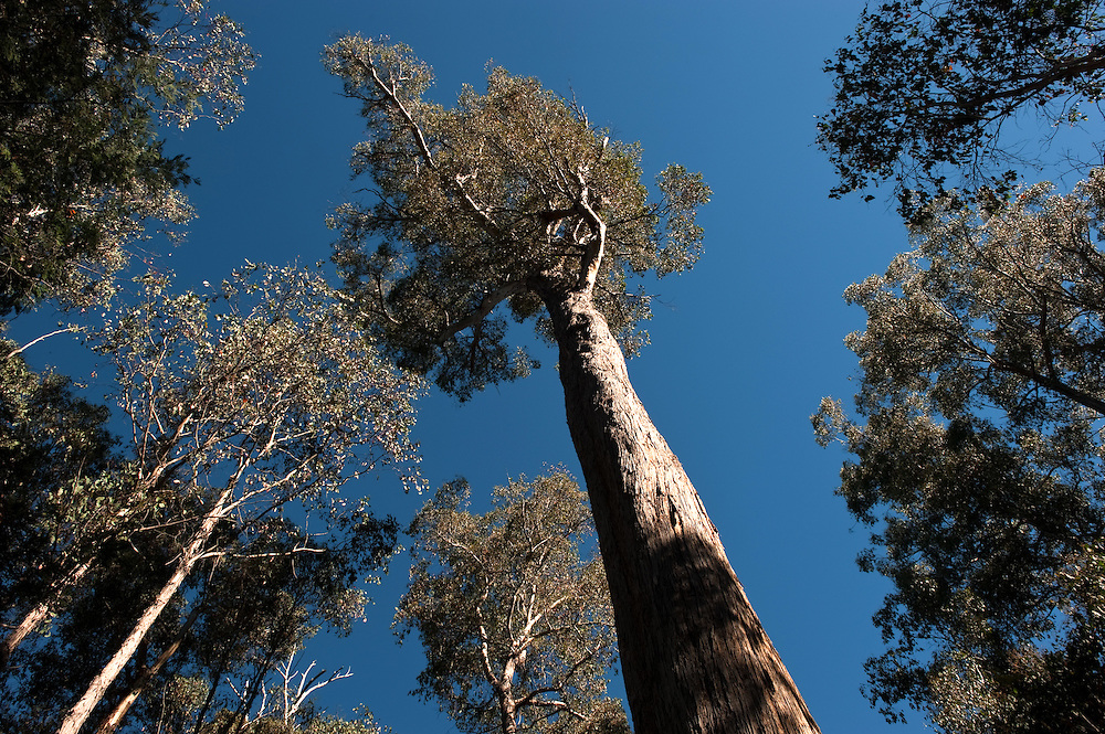Views of tall native trees from the ground with a blue sky in rural Tasmania.