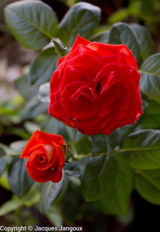Bright red (scarlet) garden rose (hybrid, cultivar): flower and opening button (Rosa, family Rosaceae)