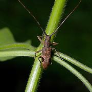 Paraleprodera inidiosa beetle of the Laminiinae family in Hua Kha Kaeng Wildlife Sanctuary, Thailand.