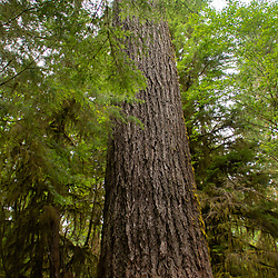This 800-year old Douglas fir tree along the Quinault Rain Forest Trail is 302 feet tall and 13 feet in diameter. Location: Quinault Rain Forest Trail, Olympic National Forest, Washington, US.