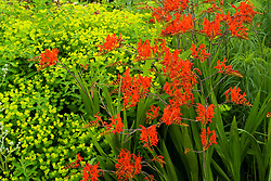 Crocosmia lucifer with Euphorbia palustris at Broughton Grange