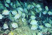 convict tangs or surgeonfish, Acanthurus triostegus, swarm over reef, grazing on algae, Helengeli, Maldives ( Indian Ocean )