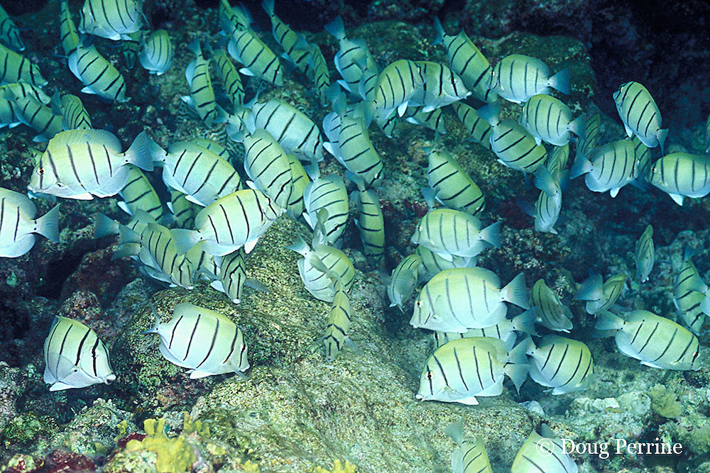 convict tangs or surgeonfish, Acanthurus triostegus, swarm over reef, grazing on algae, Helengeli, Maldives ( Indian Ocean )