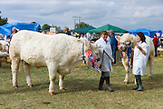 Charolais champion cattle, with winning rosettes, at Moreton Show in Moreton-in-the-Marsh, The Cotswolds, UK