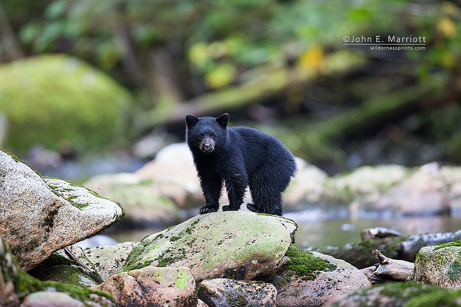 Black bear cub in the Great Bear Rainforest, BC, Canada