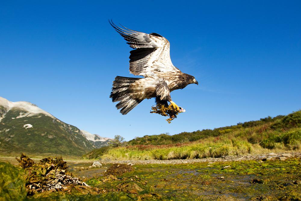 USA, Alaska, Katmai National Park, Bald Eagle  (Haliaeetus leucocephalus) takes flight with scraps of salmon along Kinak Bay on autumn afternoon