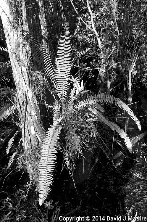 Swamp walk with Kristen and Angela in the Everglades behind  Clyde Butcher's Gone to See Florida 2014 Road Trip. Day 9: Big Cypress Swamp. Gallery. Image taken with a Leica X2 camera (ISO 100, 24 mm, f/4.5, 1/125 sec).