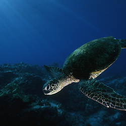A Hawaiian Green Sea turtle hovers over a reef on the Kona Coast, Hawaii.