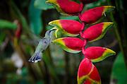 2015/05/09- Trujillo Alto, Puerto Rico- Zumbador (colibri) bebiendo nectar de una flor de Heliconia. Hummingbird feeding from a heliconia pendent.