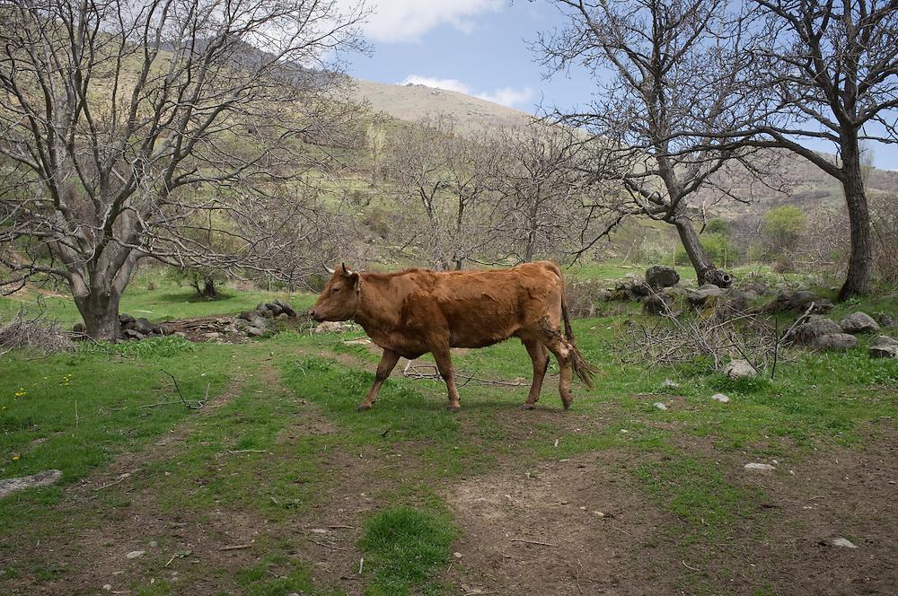 Cow near Aghios Germanos, Greece