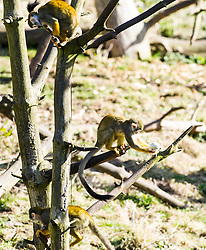 "Pictured: <br /> <br /> Squirrel monkeys and capuchins (smaller of the two types) at Edinburgh Zoo were given a bounty of boiled eggs dipped in food colouring. It's not just kids who get excited about receiving Easter eggs; the troops of primates at Living Links were just as egg-cited to receive a selection of brightly coloured, animal-friendly Easter eggs. The keepers have prepared a bounty of boiled eggs dipped in food colouring, which they hid in the outdoor areas of the Living Links Centre for the capuchins and squirrel monkeys to find. <br /> <br /> Donald Gow, Team Leader for Living Links and Budongo at RZSS Edinburgh Zoo, said: ""The squirrel monkeys and capuchins will love their Easter treats, as boiled eggs are one their favourite types of food. By hiding the eggs in their outdoor enclosure it acts as enrichment as it stimulates the primates' natural foraging abilities. They are also very inquisitive animals and will enjoy searching for their brightly coloured treats.""<br /> <br /> Ger Harley 