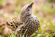 Rufous-tailed Weaver, Histurgops ruficauda, Histurgops ruficaudus, Serengetivävare, Serengeti, Tanzania, Africa