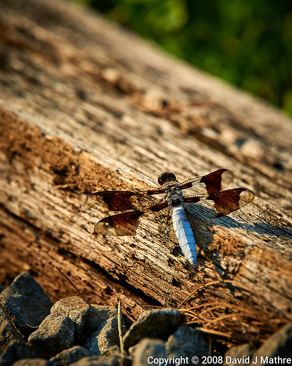 Dragonfly on wood. Backyard spring nature in new Jersey. Image taken with a Nikon D3 camera and 200 mm f/2 telephoto lens and TC-E II 2x  teleconverter (ISO 900, 400 mm, f/5.6, 1/1000 sec).