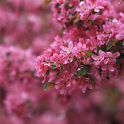 """""""Laughter in the Rain""""<br /> <br /> Rain covered pink Crabapple blossoms!"""