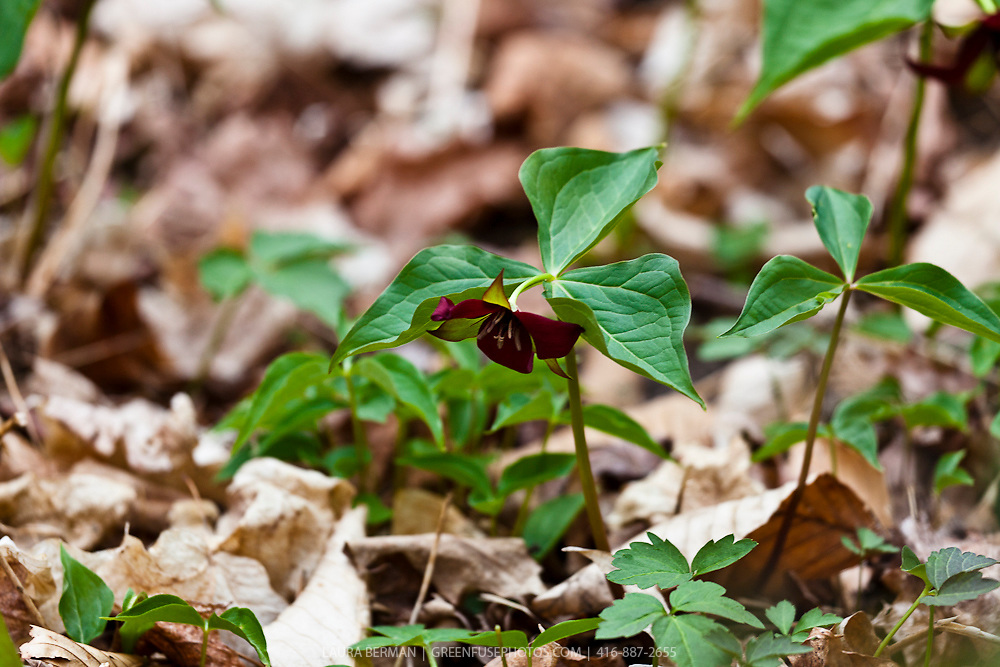 Red Trillium (Trillium erectum) growing on the forest floor.