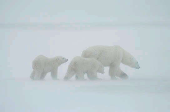Polar Bear (Ursus maritimus) Mother with her two cubs November. Winter. Along the Hudson Bay near Churchill, Manitoba. Canada.