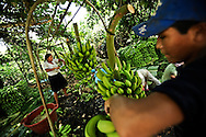 Eugenia Ramos, 32, (left) and Fernando Vera, 14, (right) harvest bananas in the Chapare region of Bolivia using a pully system that the Bolivian government helped finance as part of their efforts to encourage coca growers to repurpose their land for other crops, such as bananas, papaya or pineapples.