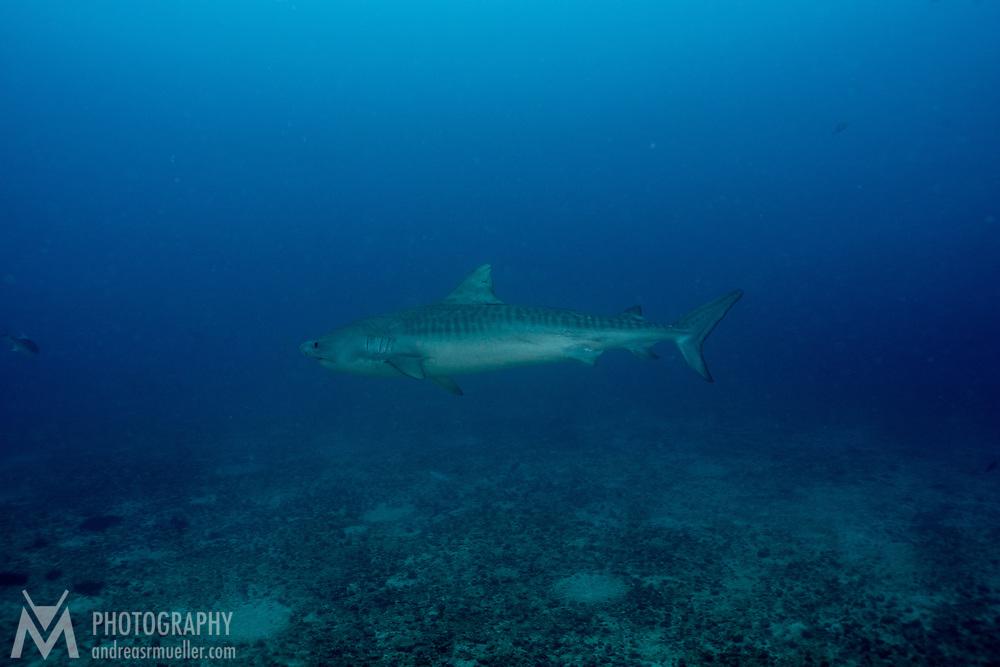 Cocos Island, Dive Spot: Manuelita Channel