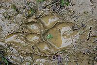 Wolf (Canis lupus) tracks in mud, the Carpathians; Carpathian Mountains; Bieszczady Mountains; Poland