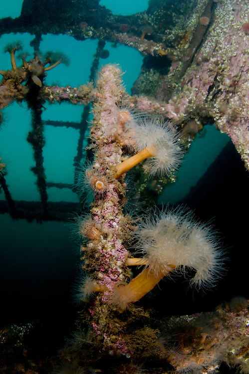 Plumose anemone, Metridium senile, on a ship wreck, close to Svolvaer, Lofoten, Norway,