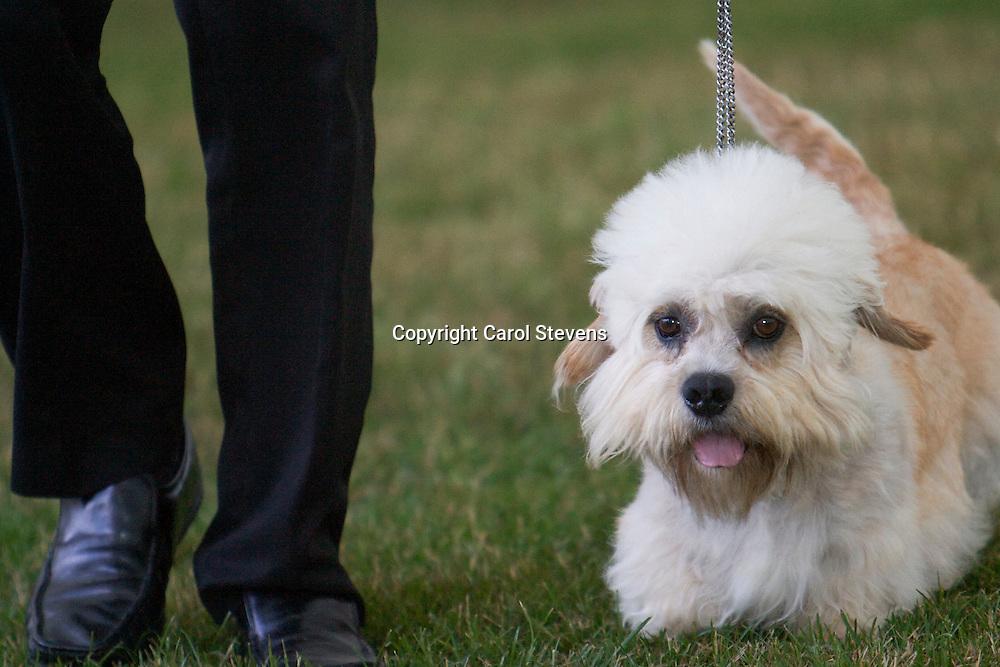 Ch Cloverwood Royal George<br /> Dandie Dinmont Terrier<br /> Mrs J Tinsley