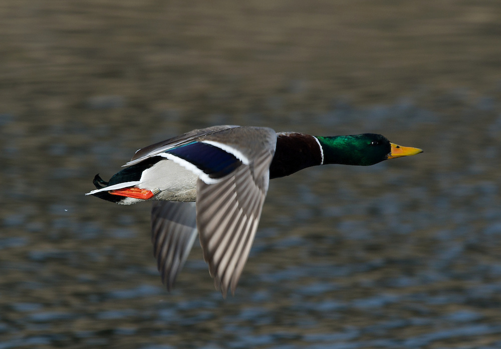 A banded drake mallard in flight