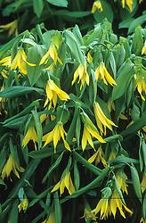 Uvularia grandiflora - Merrybells