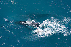 A humpback whale cow, calf and escort photographed off Willie Creek, north of Broome.  The female oftens chooses an escort for the journey south to the Antarctic.  The escorts are thought to be males waiting to mate.