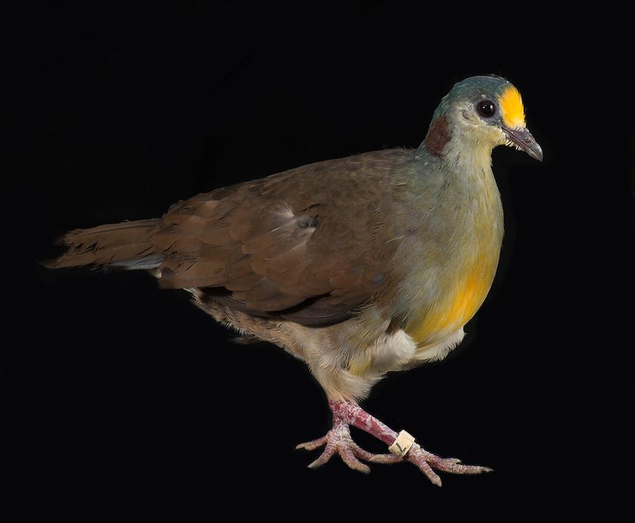 Sulawesi Ground Dove, (Gallicolumba tristigmata), captive, credit: Pandemonium Aviaries/M.D.Kern