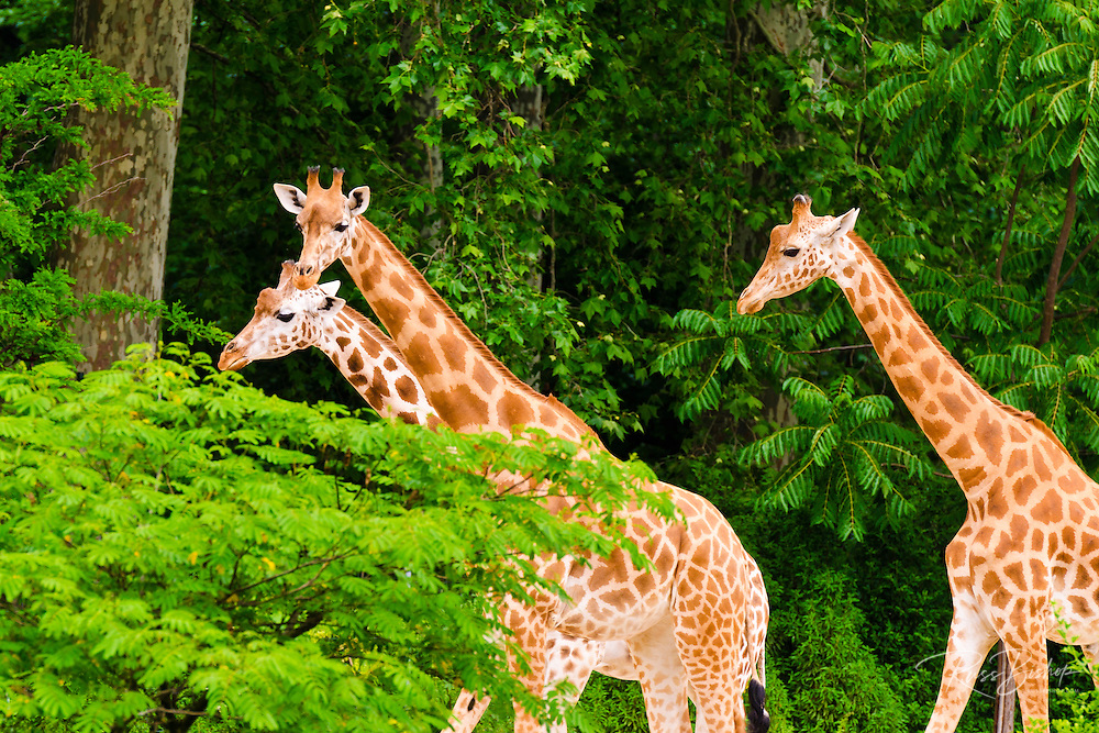 Giraffes in the zoo at Parc de la Tete d'Or, Lyon, France (UNESCO World Heritage Site)