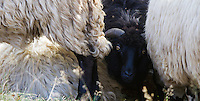 Domestic sheep (Ovis aries) black among white, close-up. Mehedinti Plateau Geopark, Geoparcul Platoul Mehedinți, Romania.