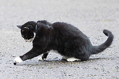 2017-02-17 Palmerston the cat plays in Downing Street