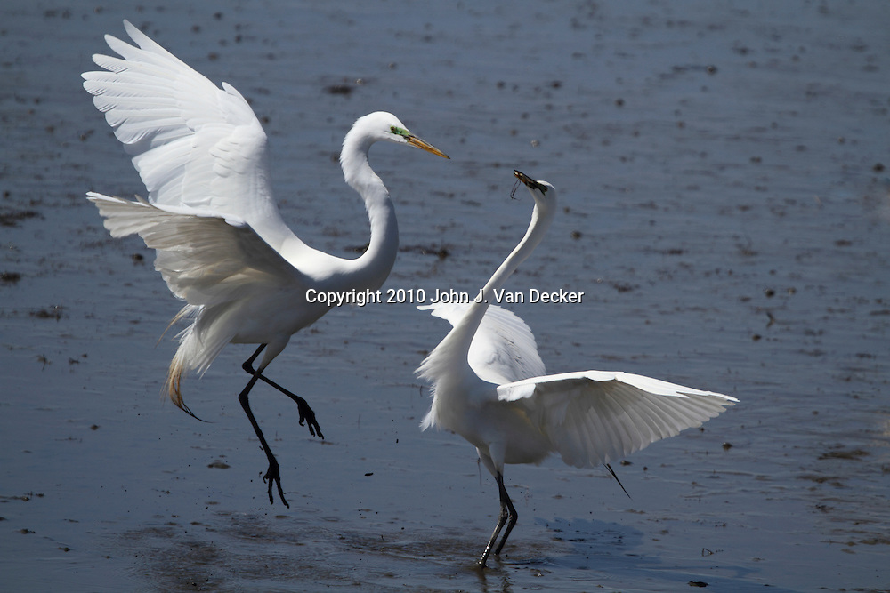 Great Egrets, Ardea alba, fighting in a saltmarsh. Edwin B. Forsythe National Wildlife Refuge, New Jersey, USA