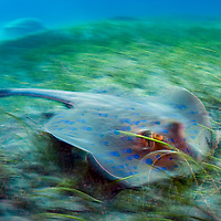 The bluespotted ribbontail ray (Taeniura lymma) is a species of stingray in the family Dasyatidae. Found from the intertidal zone to a depth of 30 m (100 ft), this species is common throughout the tropical Indian and western Pacific Oceans in nearshore, coral reef-associated habitats.<br /> Here it is digging for food out on the trtle grass field.<br /> Marsa Abu Dabbab, Marsa Shagra, Southern Egypt